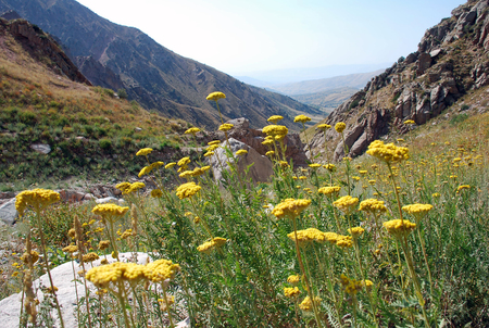 tien shan: Mountain tansy on the slopes of the Tien Shan