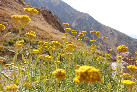 tien shan: Flowers of tansy in the Tien Shan mountains. Uzbekistan