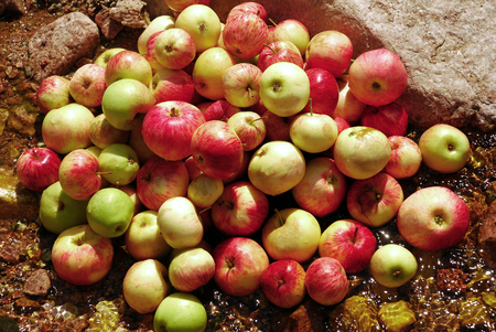melba: Red and yellow apples on the ground