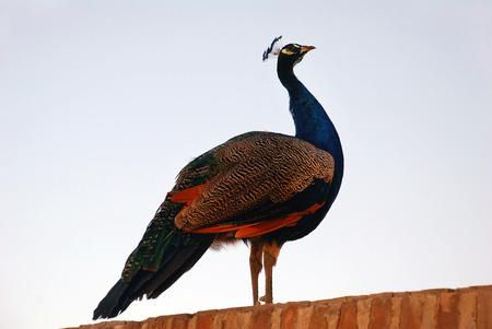 uzbekistan: Peacock against the sky. Uzbekistan