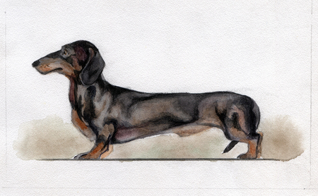 Standard black dachshund painted in watercolor
