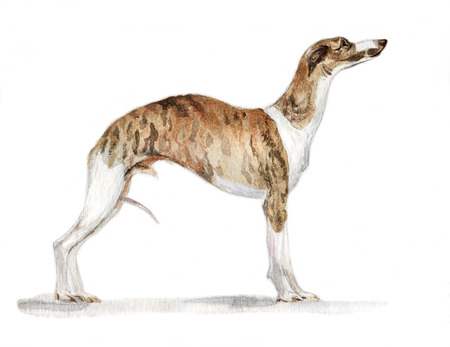 English greyhound Whippet painted in watercolor in profile
