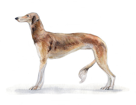 South Russian greyhound painted in watercolor in profile
