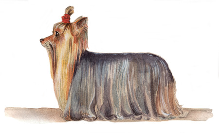 Yorkshire Terrier drawn in watercolor in profile