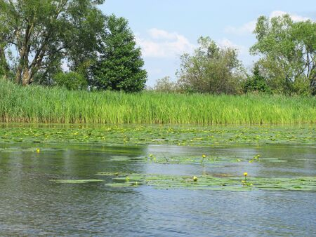 Thickets of Kubyshka or yellow water lily (lat. N?phar l?tea) and Kamysh (lat. Sc?rpus) on the Volga in the Tver Region