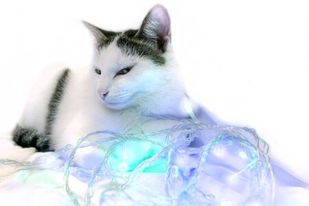 The cat lies in a New Year's garland and looks cunningly. White spotted cat Stock Photo