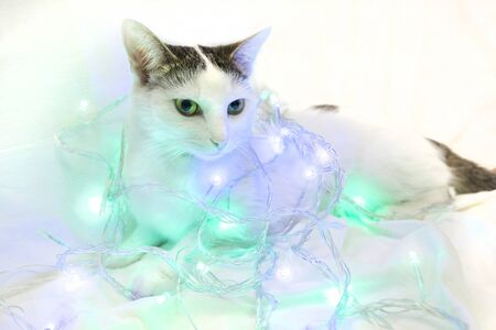 The cat lies entangled in the New Year's garland - purple and green lanterns. White spotted cat