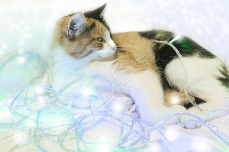 A spotted cat with symmetrical spots on its face lies in the New Years garland. White, blue, green. black, red