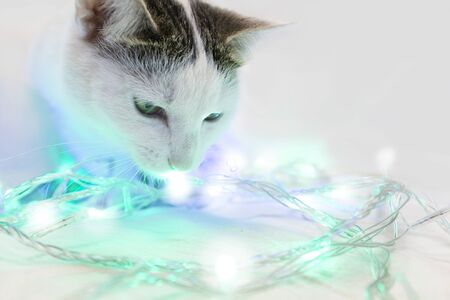 A spotted cat with symmetrical spots on its face for the first time sees a New Years garland. White, blue, green