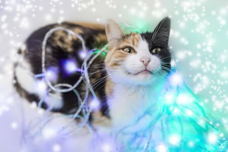 Tricolor cat (black, white and red) smiles, looks up and gets entangled in a Christmas garland