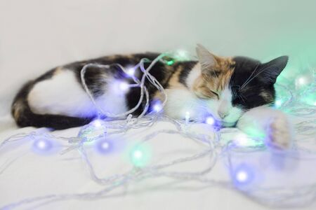 Three-colored cat sleeps in a New Years garland. White, red, black Reklamní fotografie