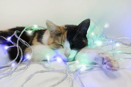 Three-colored cat sleeps in a New Year's garland. White, red, black