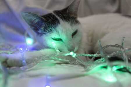 The cat lies entangled in the New Years garland - purple and green lanterns. White spotted cat