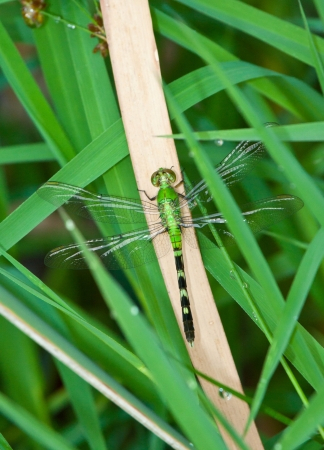 pondhawk: Eastern Pondhawk Dragonfly Stock Photo