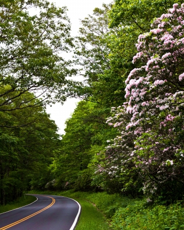 Mountain Laurel in bloom Skyline Drive