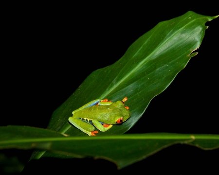 Red-eyed tree frog in Costa Rica photo