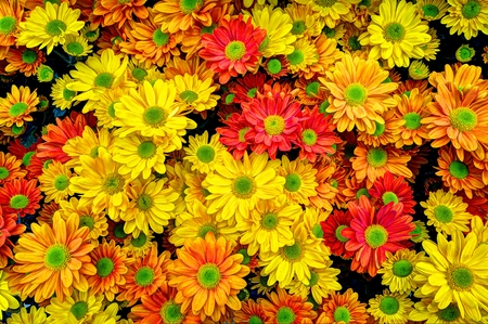 fall mums in a colorful bouquet Stock Photo