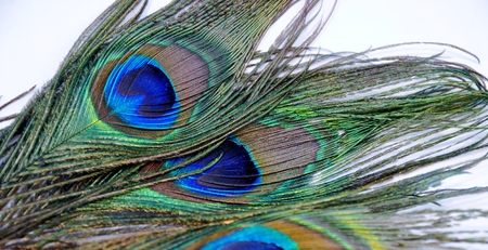 group of peacock feathers on a white background