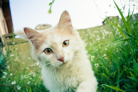 White green-eyed cat behind grass photo