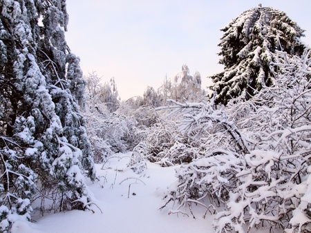 Winter landscape with the oblique birch tree photo
