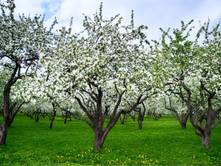 Blooming apple trees at spring photo