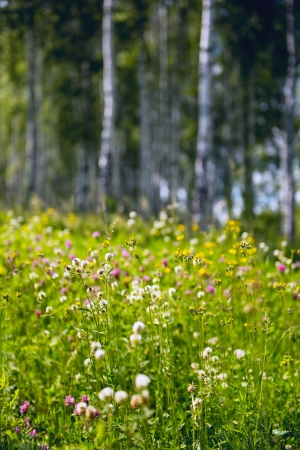 marge: Wildflowers in a bright birch forest