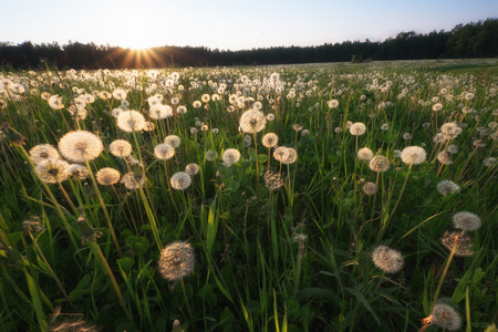 wideangle: Amazing field with white dandelions at sunset. wide-angle shot
