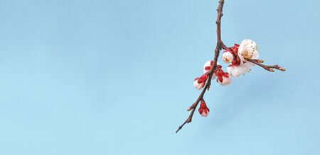 Flowers of blooming apricot in the spring isolated on blue background Фото со стока