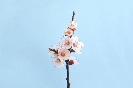Flowers of blooming apricot in the spring isolated on red background