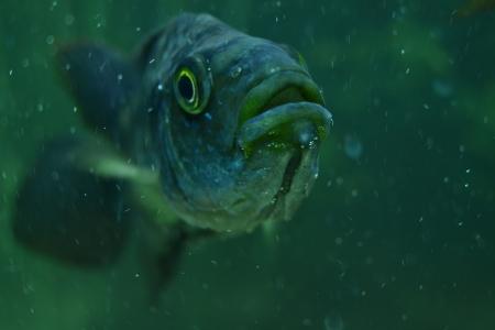 cichlid: cichlid fish in the aquarium Stock Photo