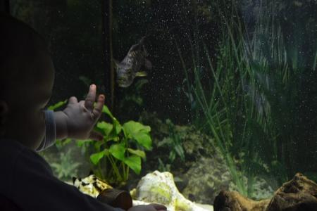 considers: child considers fish in the aquarium