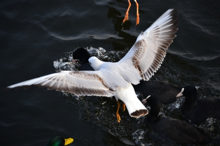 seagull attacks black duck photo