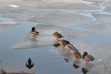 drakes: Ducks, drakes sitting on an ice floe Stock Photo