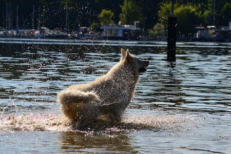 White Shepherd standing in water at the river photo