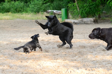 black large dog jumping on a small dog photo