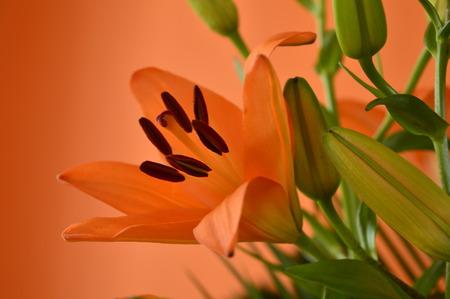 oranje lelie: oranje lelie