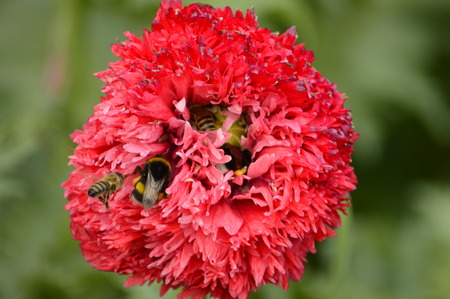 nectar: Bees collect nectar and shmli in flower