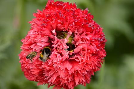 juntar: Las abejas recogen el n�ctar y shmli en flor Foto de archivo