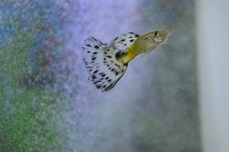 guppies: guppies in the tank