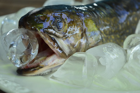 loach: fish keeps the ice in the mouth