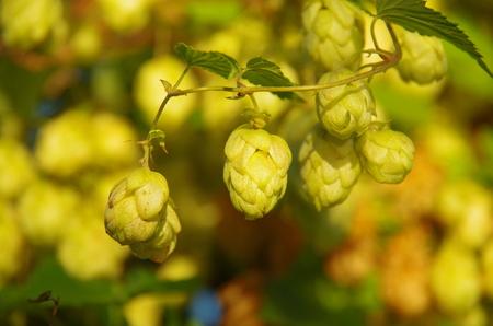 hop cones: hop cones hanging
