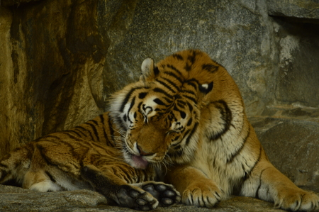 stone wash: Tiger lying and licking his paw