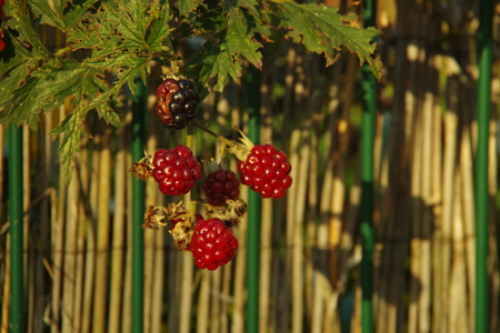 red straw: Blackberry black and red straw near the fence