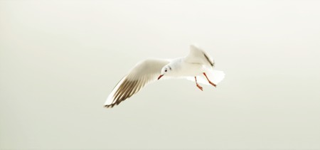 flaps: Seagull flaps its wings in the sky