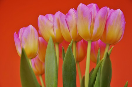 bicolored: bi-colored tulips, pink and yellow on an orange background