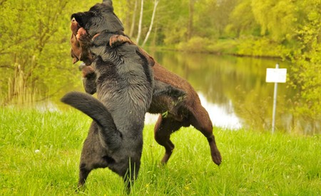 near: dog fighting in the meadow near the river
