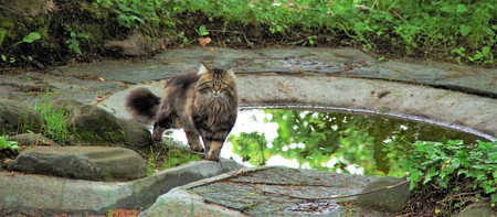 near: long-haired cat standing near the puddles