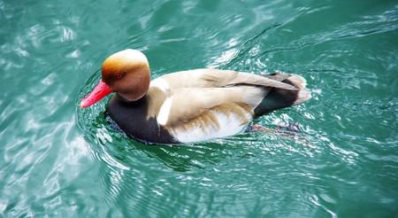 red beak: duck with red beak is swim on the river