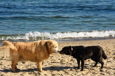 Two dogs a black labrador and a retriever standing on the seashore