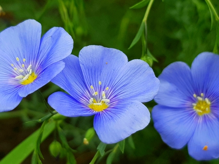 Flax with blue petals on green grass in the meadow